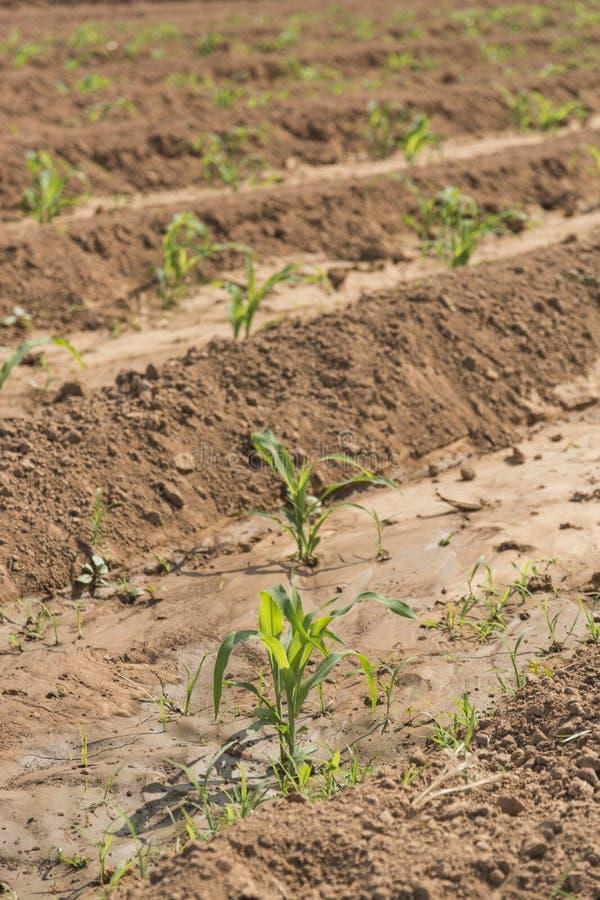 Junger Mais stockbild