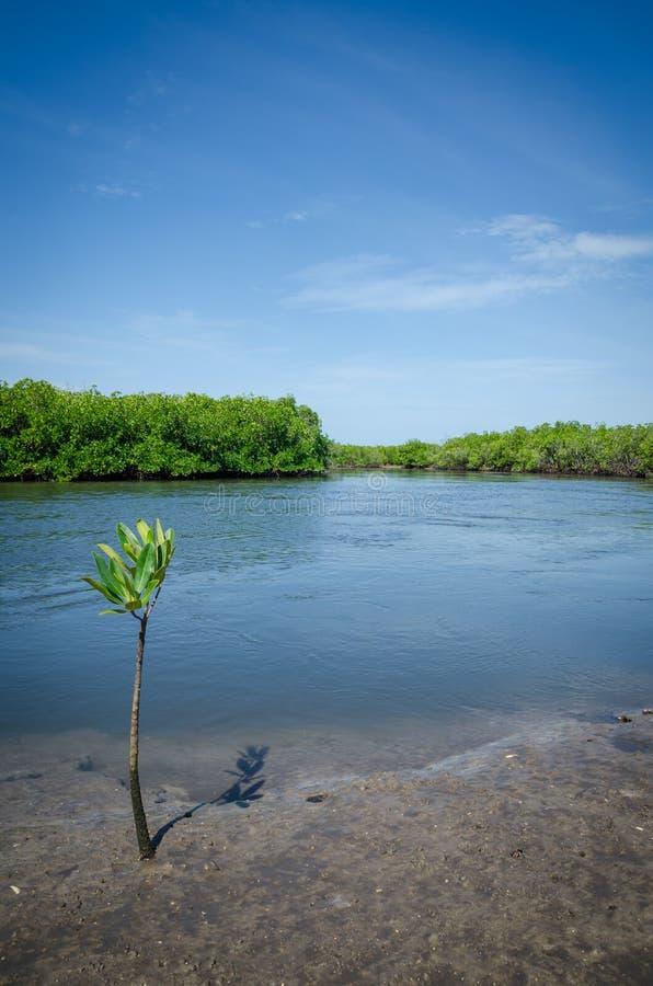 Junger Mangrovenbaum, der auf schlammigem Ufer des Mangrovenwaldes Sinus Saloum-Deltas, Senegal, Afrika wächst stockfoto