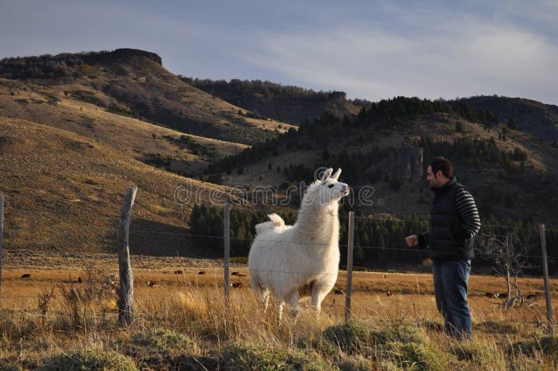 Junger Mann, der ein patagonian Lama im Patagonia, Argentinien aufpasst stockfotos