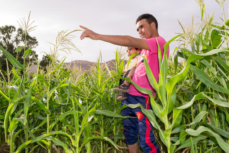 Junger Mann, der seinem Kind etwas in einem Feld von Mais zeigt stockfoto
