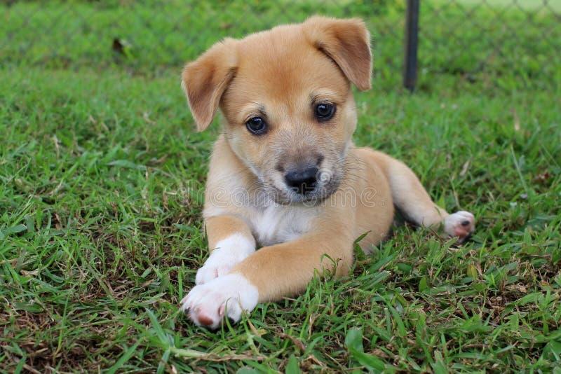 Junger Neu-Guinea Gesang-Hundewelpe stockfoto