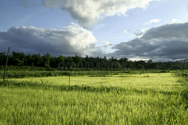 Junger Reis stockfotos