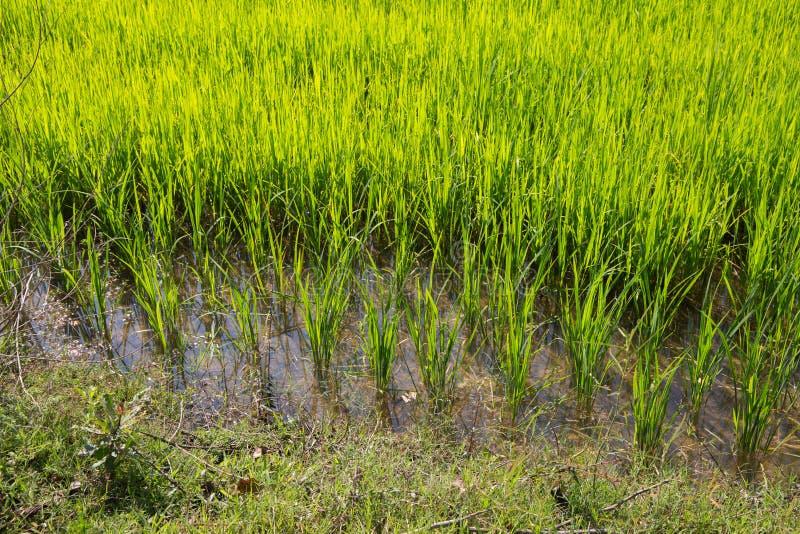 Junger Reis wächst im Reisfeld in Thailand, Asien lizenzfreies stockbild
