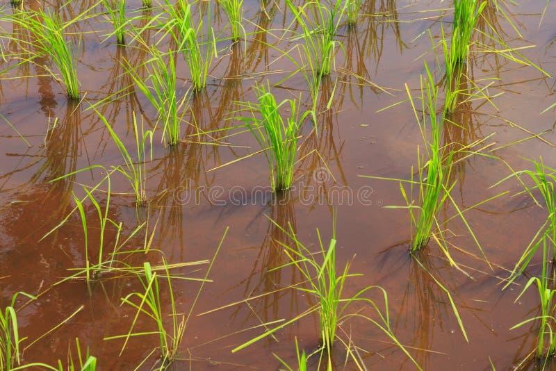 Junger Reis wird auf dem Reisfeld/dem Reisfeld angebaut stockbilder