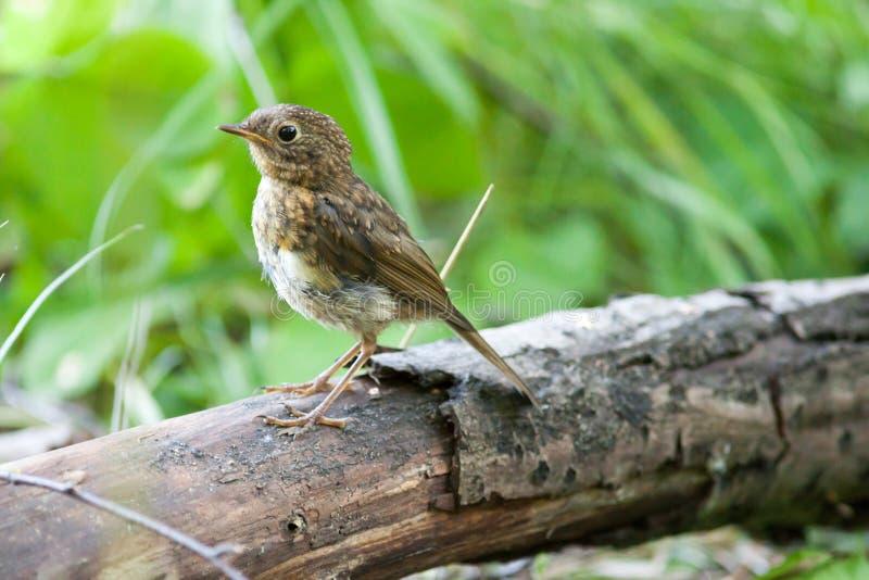 Junger Robin (Erithacus rubecula) Wilder Vogel in einem natürlichen Lebensraum lizenzfreie stockbilder