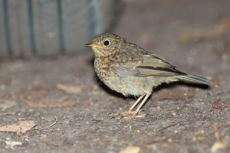 Junger Robin (Erithacus rubecula) Wilder Vogel in einem natürlichen Lebensraum stockbilder
