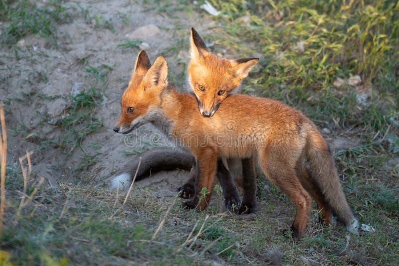 Junger roter Fox zwei, der nahe seinem Loch spielt lizenzfreie stockfotos