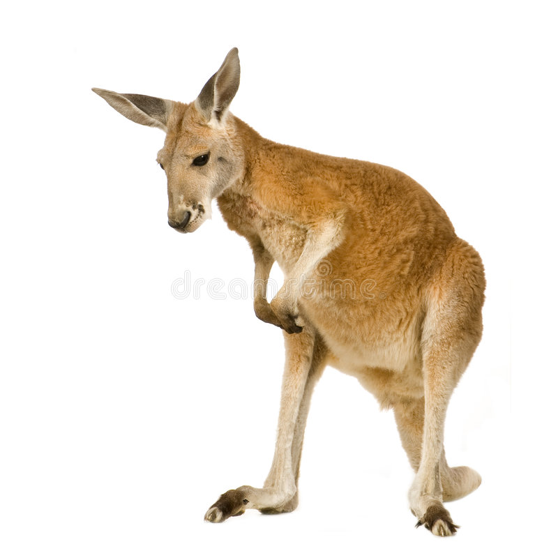 Junger roter Känguru (9 Monate) - Macropus rufus stockfotos