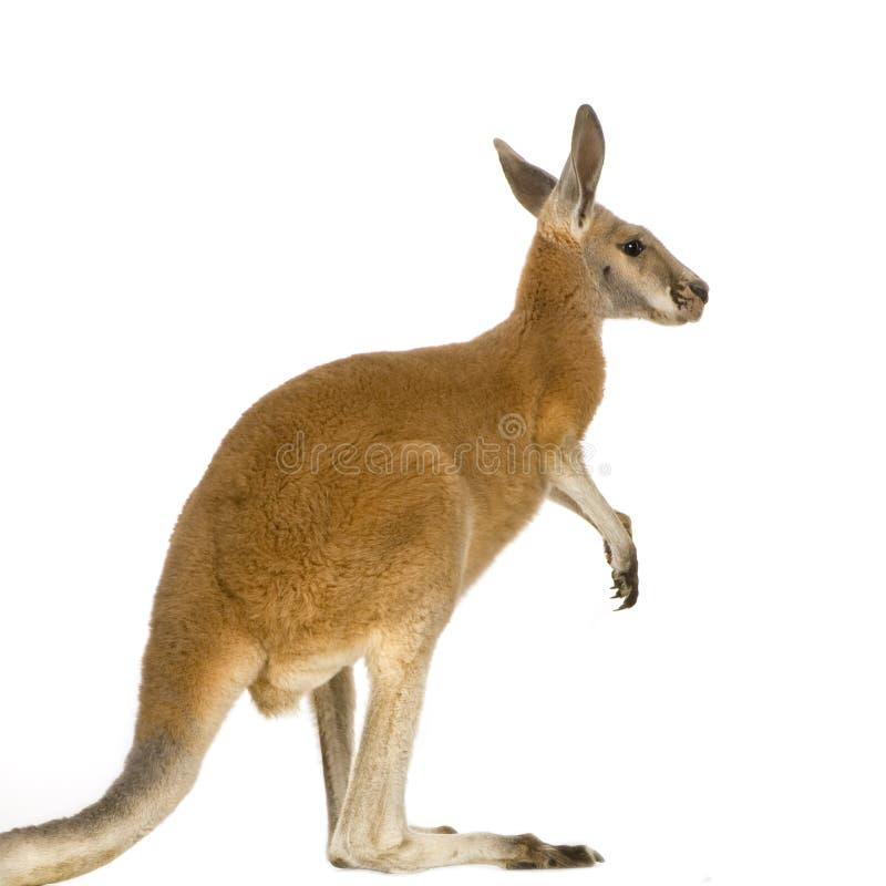 Download Junger Roter Känguru (9 Monate) - Macropus Rufus Stockbild - Bild von fahrwerkbein, jung: 5207879