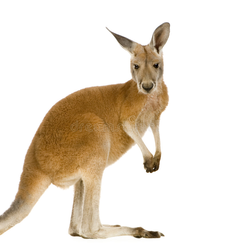Junger roter Känguru (9 Monate) - Macropus rufus stockfotografie