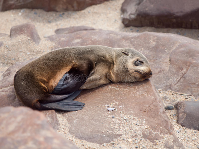 Junger Südafrikanischer Seebär, der auf dem Felsen sleaping ist stockbild