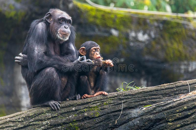 Junger Schimpanse hängt stockfotografie