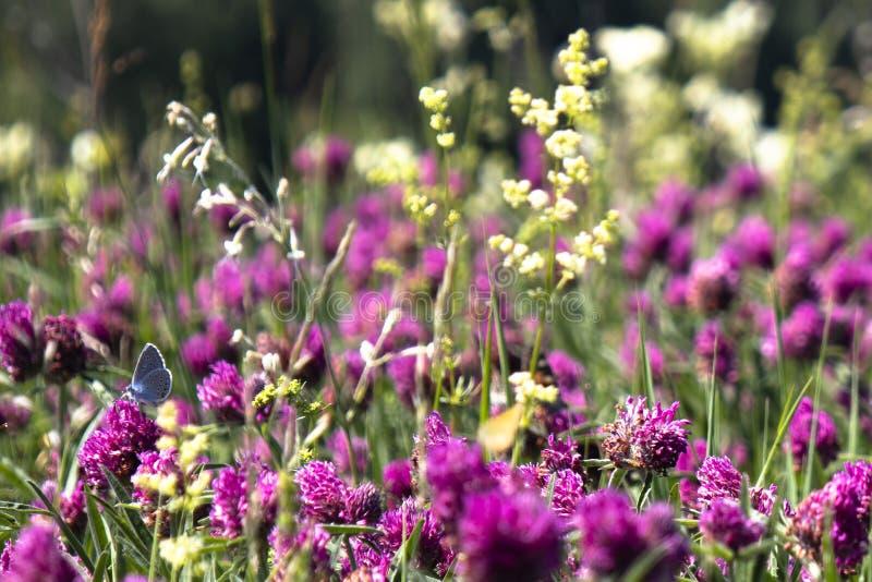 Junger Schmetterling in den roten Blumen lizenzfreie stockfotografie