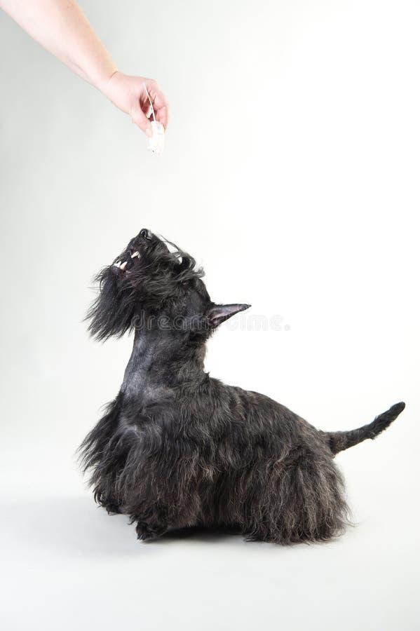 Junger schottischer Terrier auf einem weißen Hintergrund lizenzfreie stockfotografie