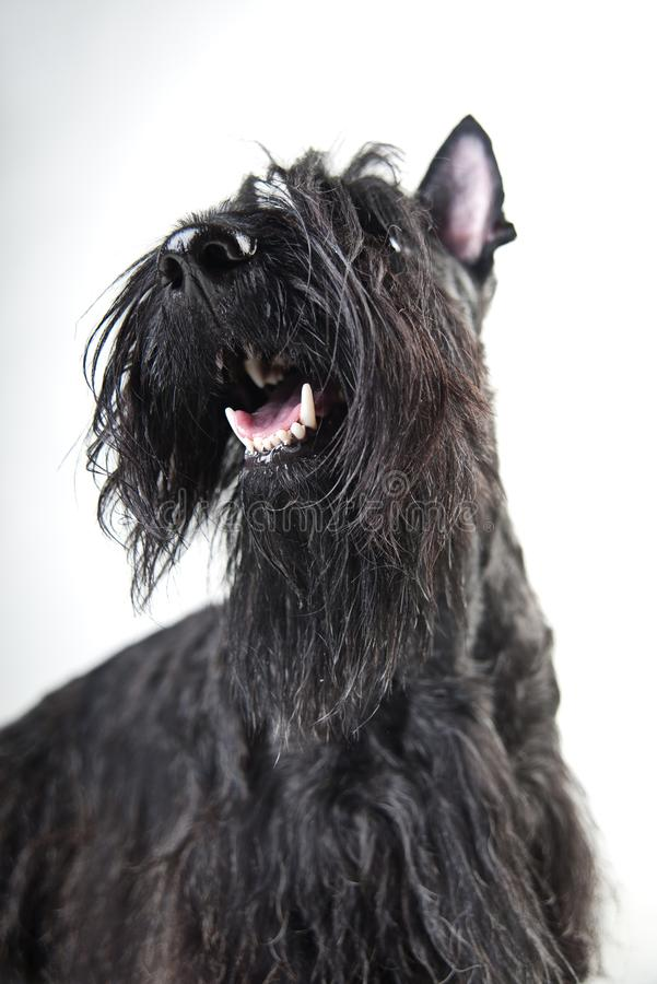 Junger schottischer Terrier auf einem weißen Hintergrund lizenzfreies stockfoto