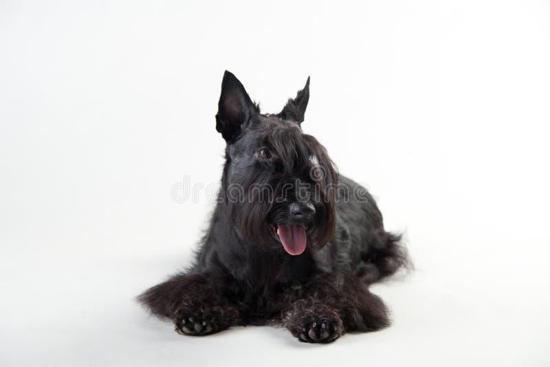 Junger schottischer Terrier auf einem weißen Hintergrund stockbilder