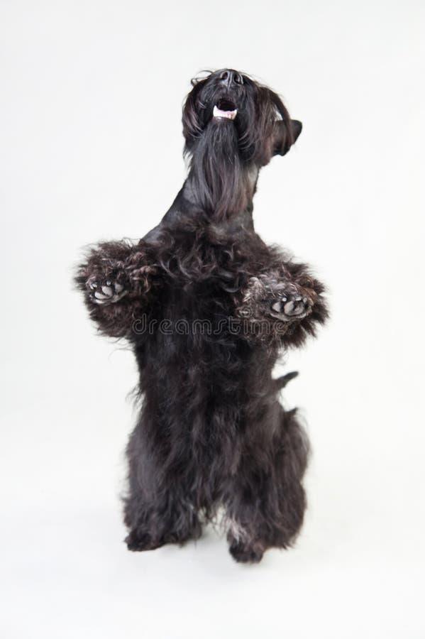 Junger schottischer Terrier auf einem weißen Hintergrund stockfotografie