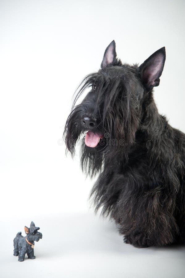 Junger schottischer Terrier auf einem weißen Hintergrund lizenzfreie stockbilder