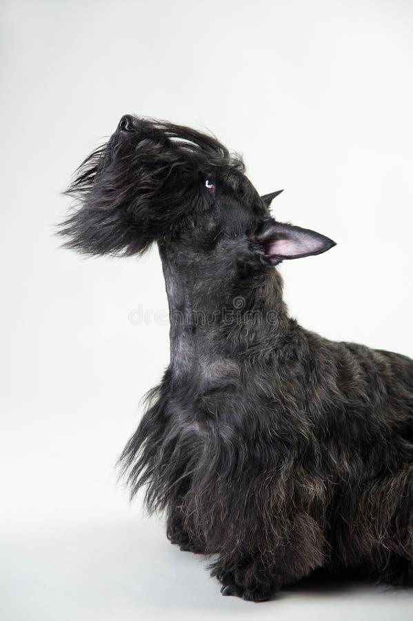 Junger schottischer Terrier auf einem weißen Hintergrund stockfoto