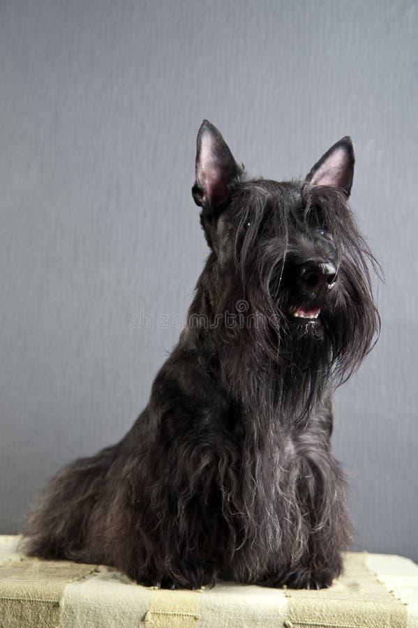 Junger schottischer Terrier auf grauem Hintergrund stockfotografie