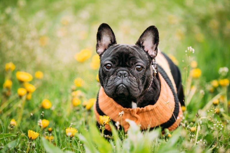 Junger schwarzer französische Bulldoggen-Hund im grünen Gras stockbild