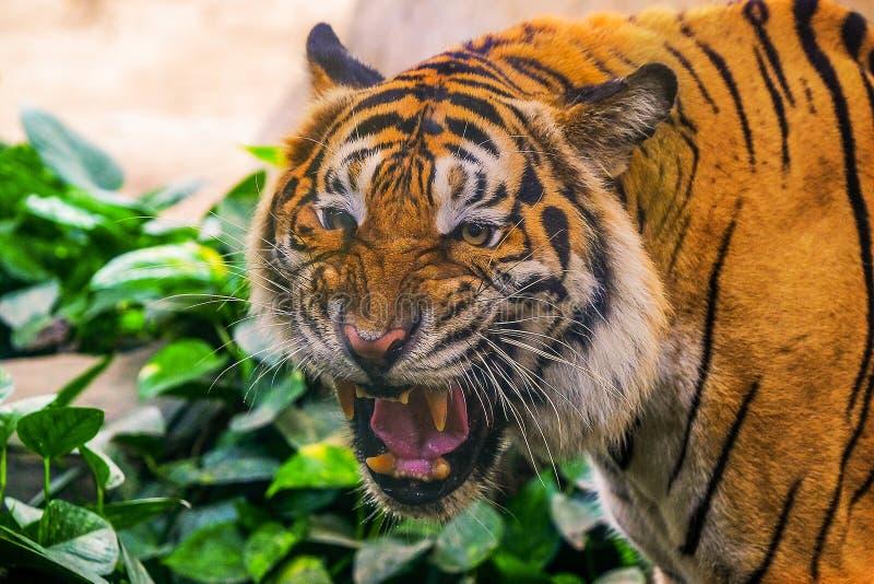 Junger sibirischer Tiger in der Aktion lizenzfreie stockfotografie
