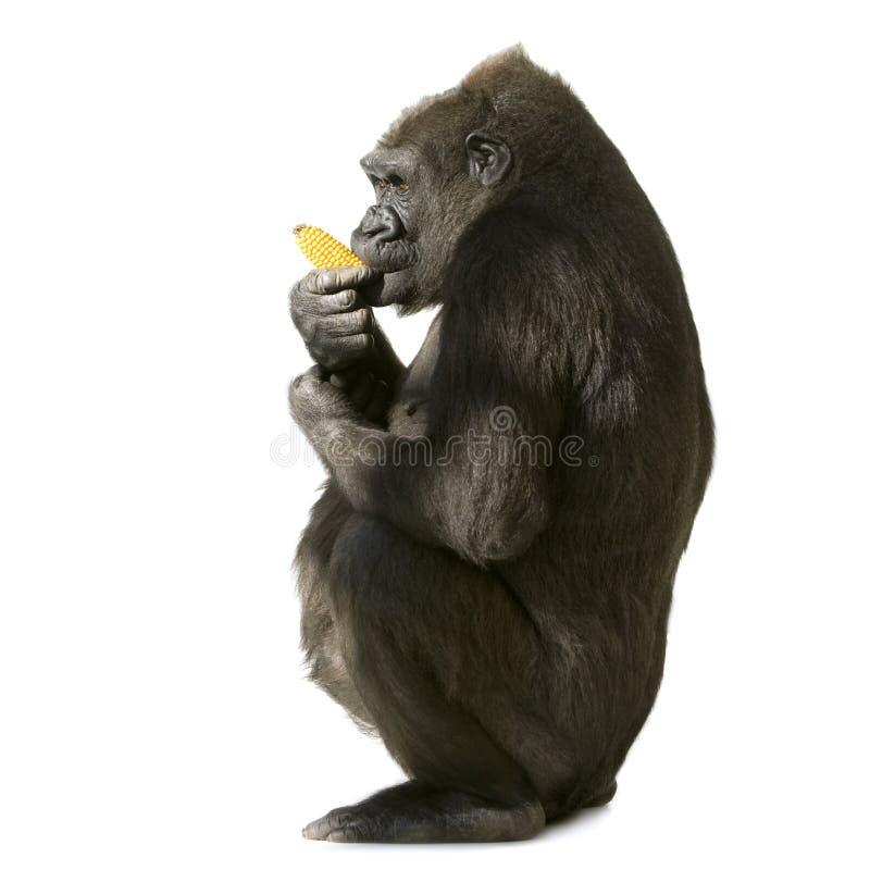 Junger Silverback Gorilla lizenzfreie stockbilder