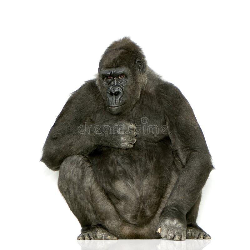 Junger Silverback Gorilla stockbilder