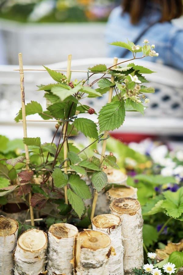 Junger Sprössling von Himbeeren mit Blumen und Beeren, rustikaler Birkenbretterzaun lizenzfreies stockbild