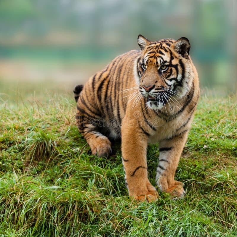 Download Junger Sumatran Tiger, Der Auf Grasartiger Querneigung Sitzt Stockbild - Bild von katzenartig, raub: 26366215