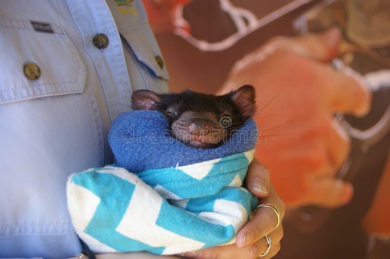 junger tasmanischer Teufel Joey lizenzfreie stockfotografie