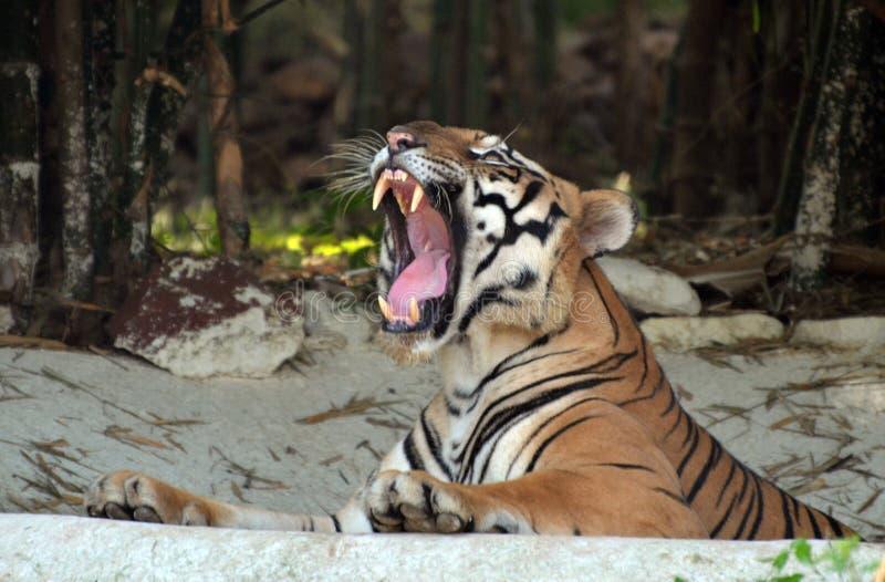 Junger Tiger, der im vihar Nationalpark des Packwagens, Bhopal stillsteht lizenzfreie stockfotografie