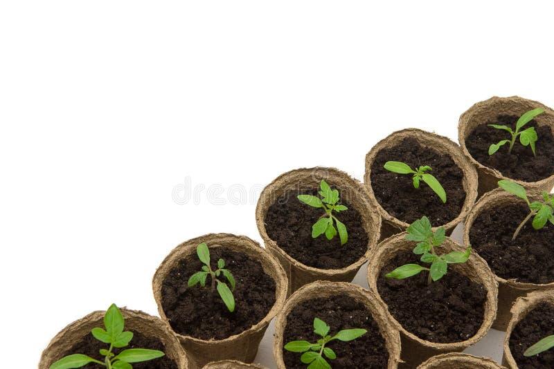 Junger Tomatens?mling keimt in den Torft?pfen, die auf wei?em Hintergrund lokalisiert werden Im Garten arbeitenkonzept stockfotografie