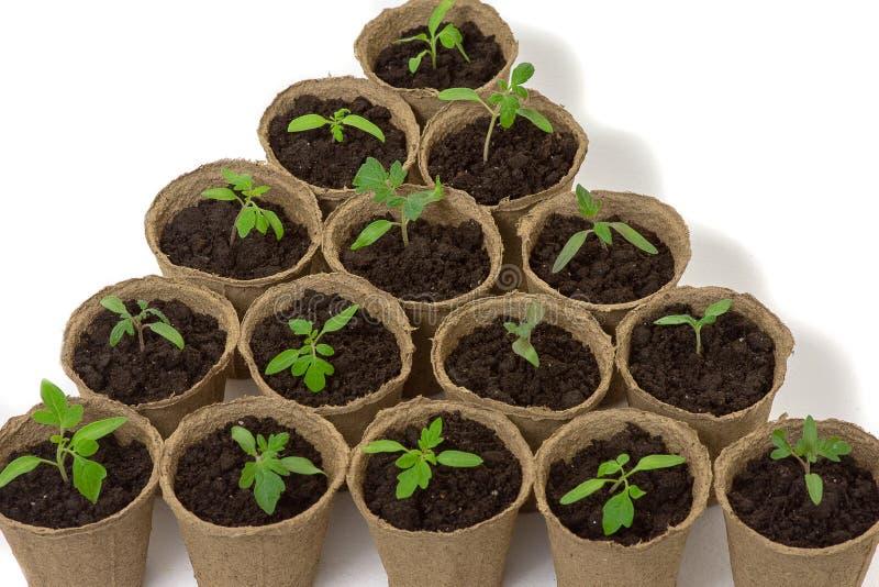 Junger Tomatens?mling keimt in den Torft?pfen, die auf wei?em Hintergrund lokalisiert werden Im Garten arbeitenkonzept lizenzfreie stockfotografie