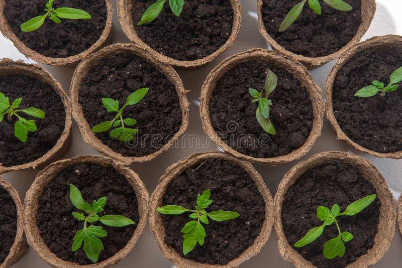 Junger Tomatens?mling keimt in den Torft?pfen, die auf wei?em Hintergrund lokalisiert werden Im Garten arbeitenkonzept lizenzfreies stockbild