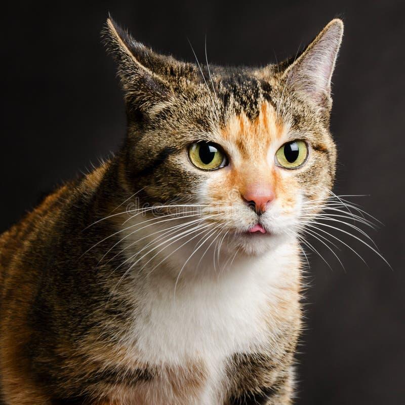 Junger Torbie Kitten Cat, die heraus ihre Zunge haftet lizenzfreies stockbild
