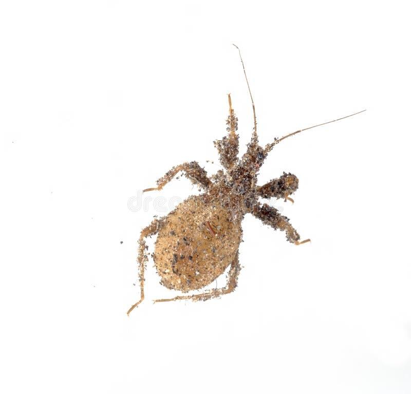 Junger verdeckter Jäger, Nymphe, Reduvius-personatus, bedeckt im Staub lokalisiert auf Weiß stockbilder