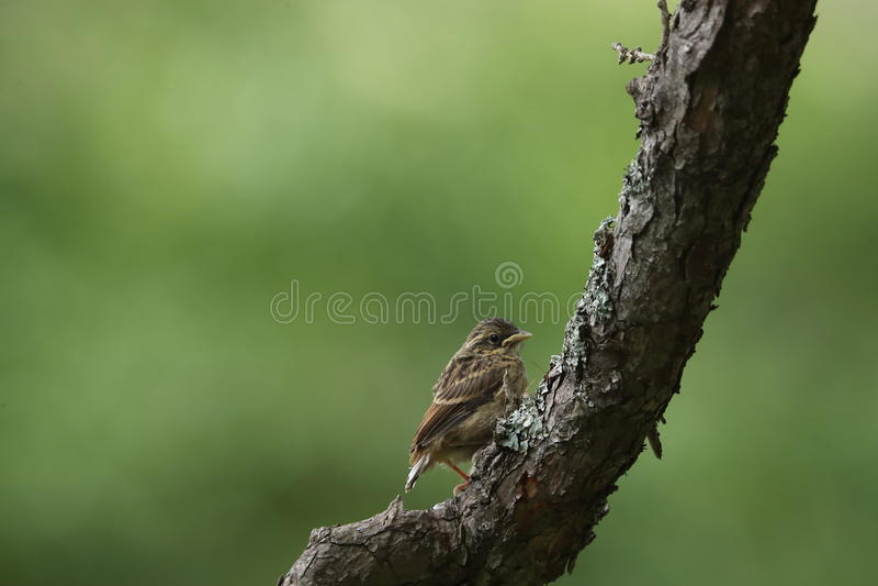 Junger Vogel von Schnäppern auf der Niederlassung des Baums stockfotografie