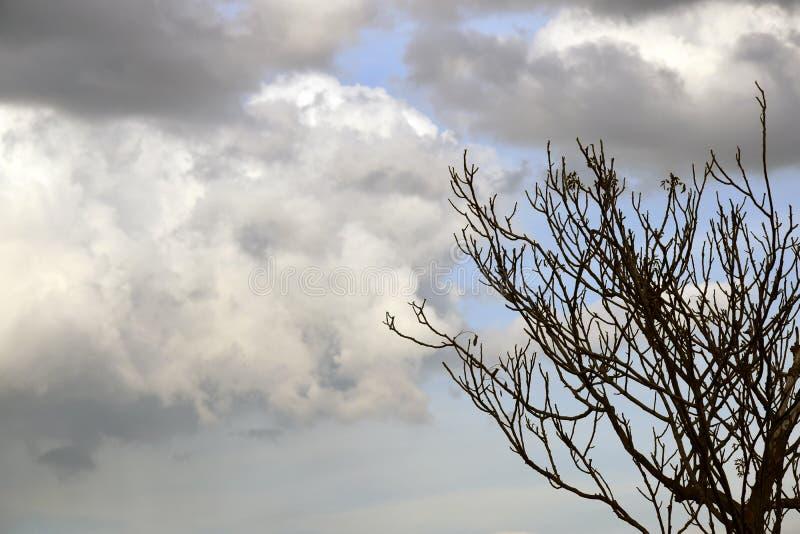 Junger Walnussbaum gegen den Himmel mit dunklen großen Wolken lizenzfreies stockfoto