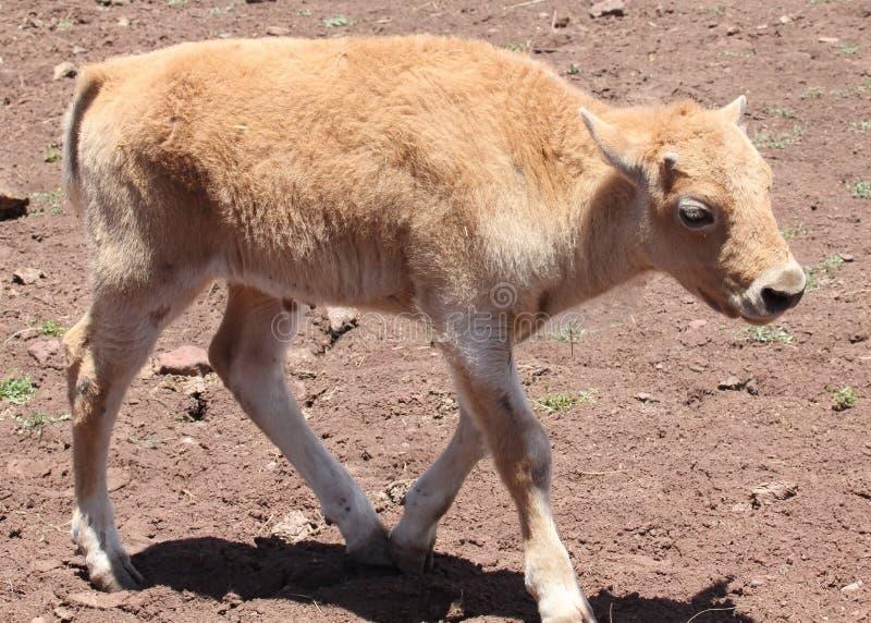 Junger weißer Bison Standing lizenzfreies stockbild