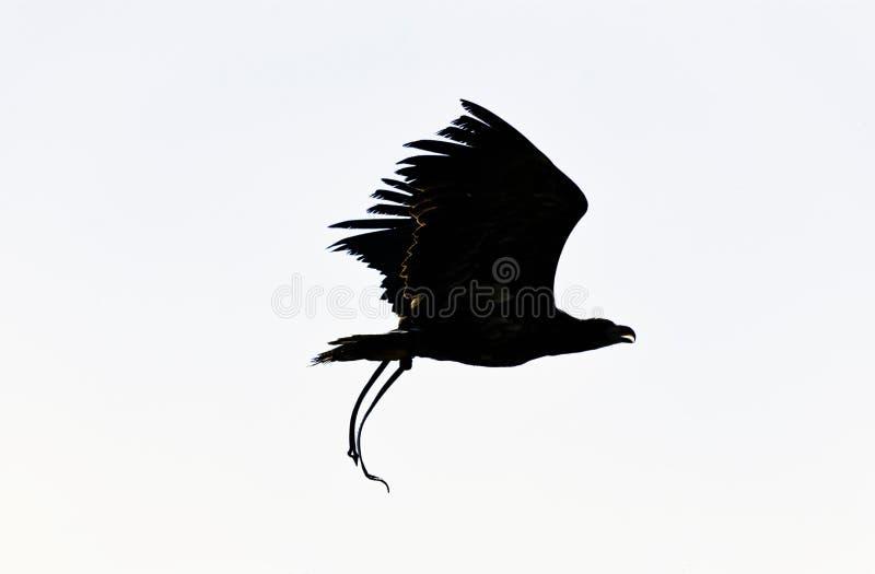 Junger Wei?kopfseeadler/Haliaeetus leucocephalus lizenzfreie stockfotos