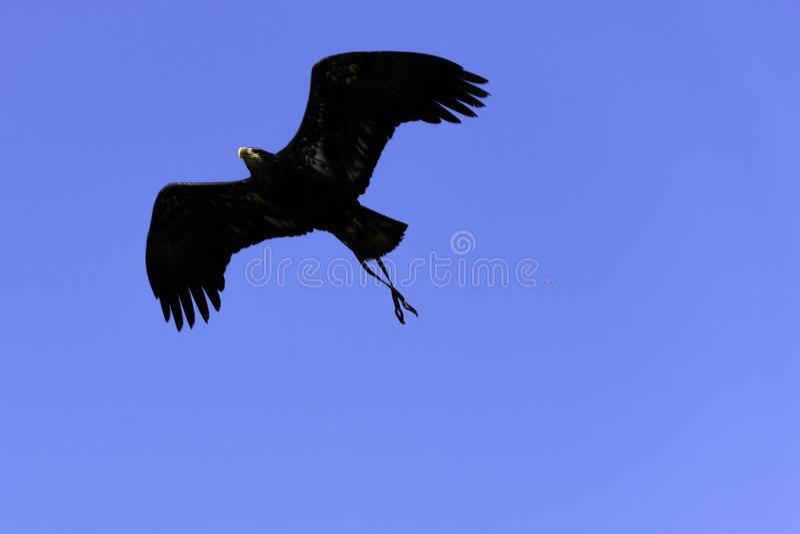 Junger Wei?kopfseeadler/Haliaeetus leucocephalus lizenzfreies stockbild