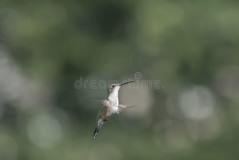 Junger weiblicher Kolibri im Flug stockbilder