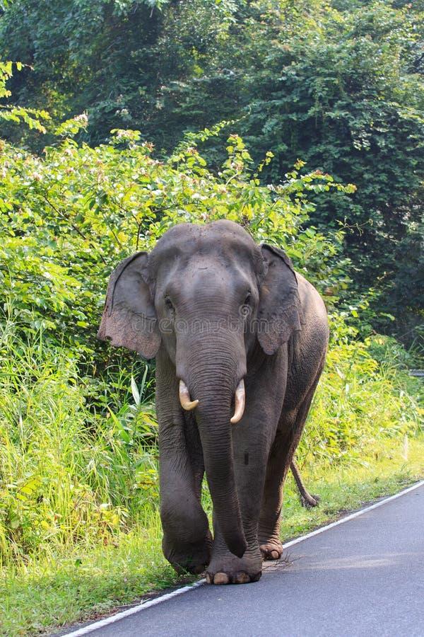 Junger weiblicher wilder Elefant in Nationalpark khao Yai nakornratch stockbilder