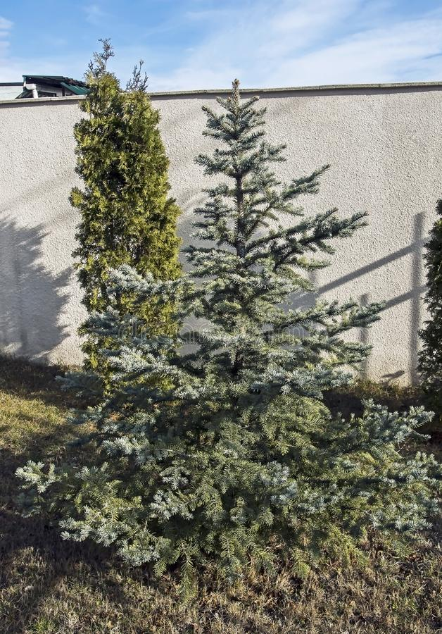 Junger Weihnachtsbaum im Frühjahr stockbild