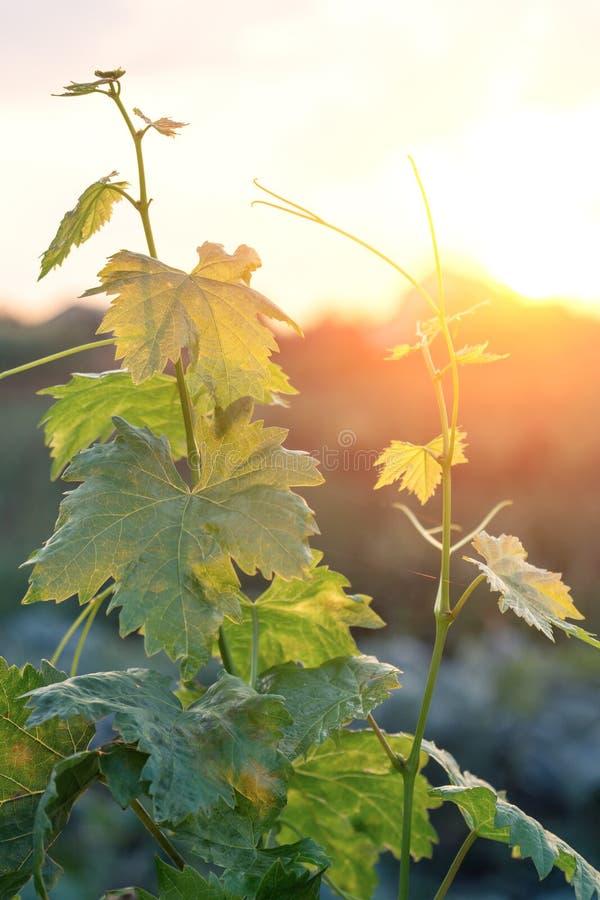 Junger Weinstock im Sonnenstrahl lizenzfreie stockfotografie