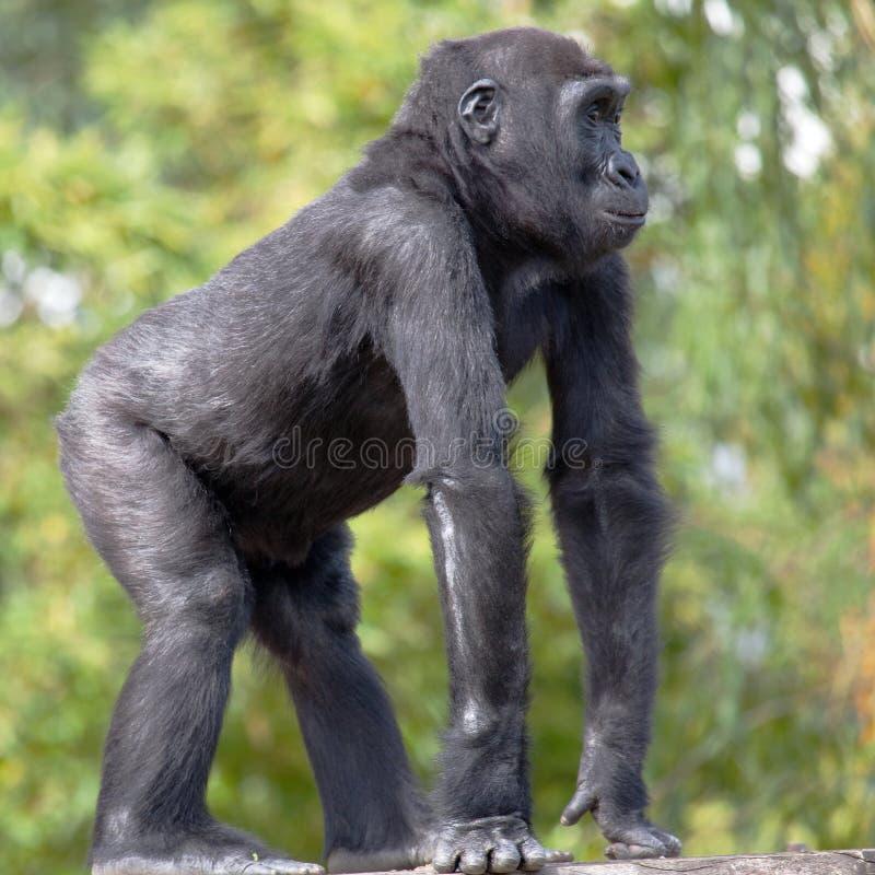 Junger westliches Tiefland-Gorilla lizenzfreies stockbild