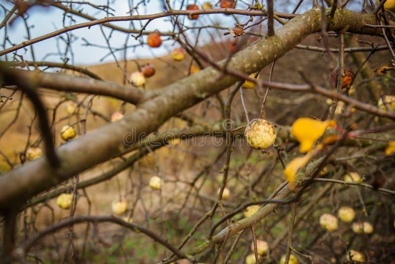 Junger wilder Apfel domestiziert durch Apfel, nahen hohen und selektiven Fokus stockfotografie