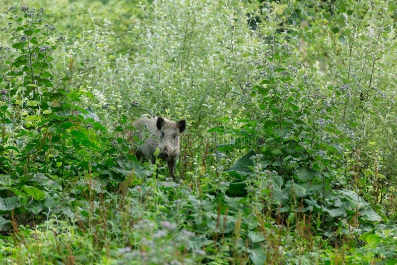 Junger wilder Eber, der hinter buches sich versteckt lizenzfreie stockfotos