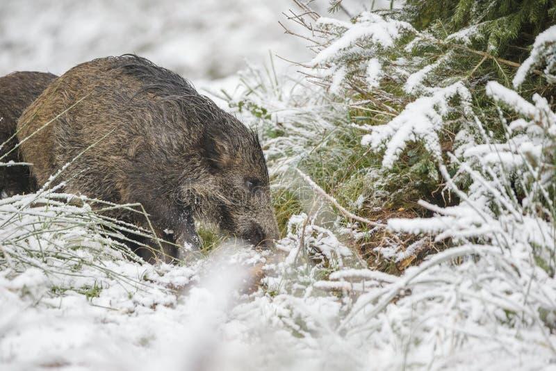 Junger wilder Eber im Schnee stockbild
